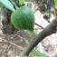 Pierre Bonnet - Ficus carica L. [1753]