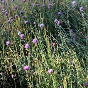 Photographie n°229420 du taxon Allium schoenoprasum L.