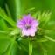 David LOCHE - Geranium dissectum L.