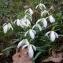 Nicolas PARPANDET - Galanthus nivalis L.