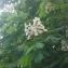 MaelMagnus - Aesculus hippocastanum L.