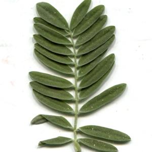 Photographie n°229611 du taxon Anthyllis barba-jovis L.