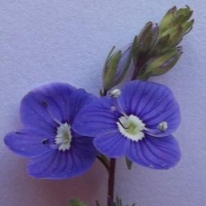Photographie n°229712 du taxon Veronica chamaedrys L. [1753]
