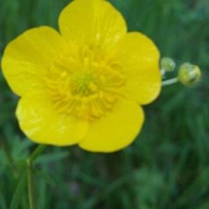 Photographie n°229831 du taxon Ranunculus bulbosus L. [1753]