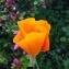 R MARQUAS - Eschscholzia californica Cham.