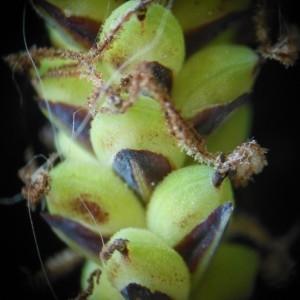 Photographie n°229903 du taxon Carex flacca Schreb. [1771]