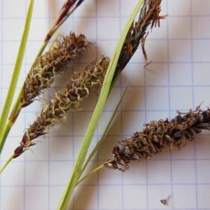 Photographie n°229904 du taxon Carex flacca Schreb. [1771]