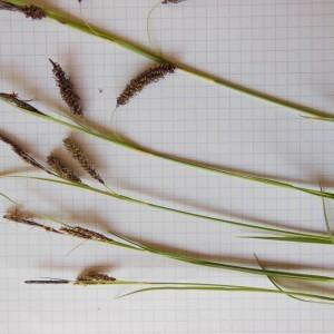 Photographie n°229905 du taxon Carex flacca Schreb. [1771]