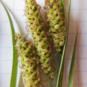Photographie n°229906 du taxon Carex flacca Schreb. [1771]
