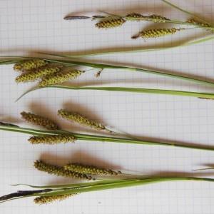 Photographie n°229907 du taxon Carex flacca Schreb. [1771]