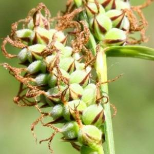 Photographie n°230171 du taxon Carex tomentosa L. [1767]