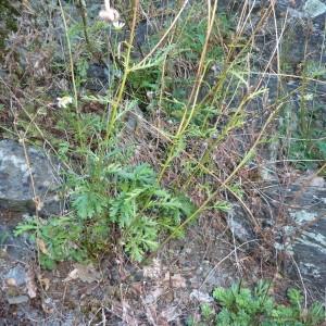 Photographie n°230172 du taxon Leucanthemum monspeliense (L.) H.J.Coste [1903]