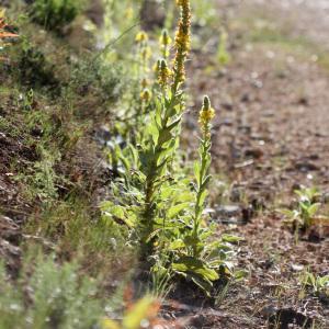 Photographie n°230244 du taxon Verbascum thapsus L.