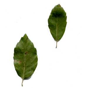 Photographie n°230364 du taxon Quercus suber L. [1753]