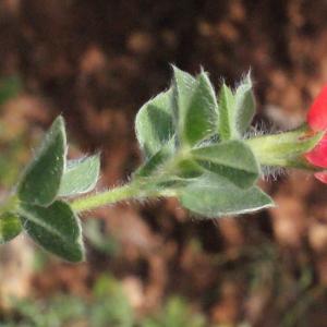 Photographie n°230395 du taxon Lotus tetragonolobus L.