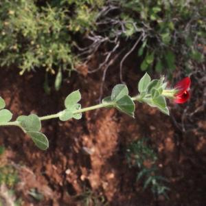 Photographie n°230401 du taxon Lotus tetragonolobus L.