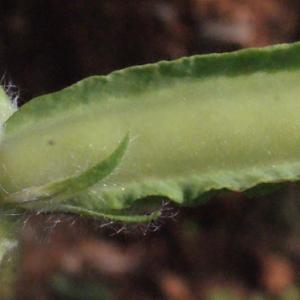 Photographie n°230409 du taxon Lotus tetragonolobus L.