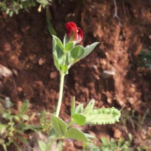 Photographie n°230411 du taxon Lotus tetragonolobus L.
