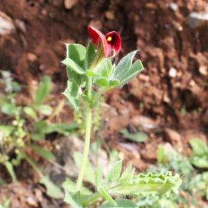 Photographie n°230414 du taxon Lotus tetragonolobus L.