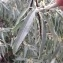 Pierre Bonnet - Elaeagnus angustifolia L. [1753]
