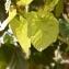 Sénégal ENGOUEMENT - Cola cordifolia (Cav.) R. Br.