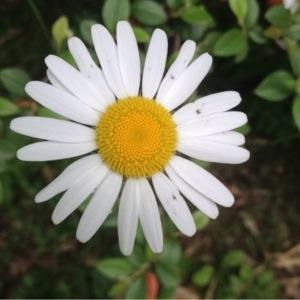 - Tripleurospermum inodorum (L.) Sch.Bip. [1844]