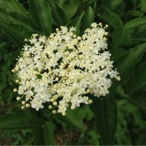 Sambucus nigra L. (Grand Sureau)