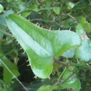 Photographie n°231329 du taxon Smilax aspera L. [1753]