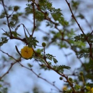 - Acacia ehrenbergiana Hayne