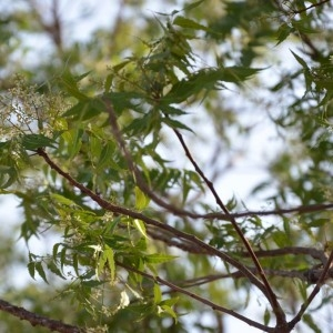 Photographie n°232099 du taxon Azadirachta indica A. Juss.