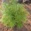 Sénégal ENGOUEMENT - Thevetia neriifolia Juss. ex Steud.