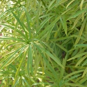 Photographie n°232252 du taxon Thevetia neriifolia Juss. ex Steud.