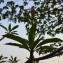 Sénégal ENGOUEMENT - Stachys officinalis (L.) Trévis. [1842]