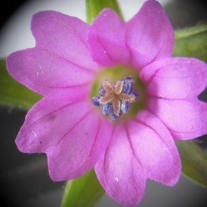 Geranium dissectum L. (Géranium à feuilles découpées)