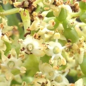 Sambucus racemosa L. (Sureau à grappes)