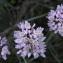John De Vos - Allium roseum L. [1753]