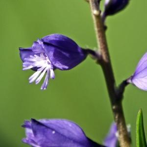 Polygala vulgaris L. (Polygala commun)