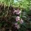 - Melittis melissophyllum L. [1753]