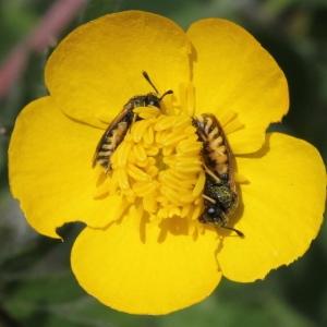 Photographie n°232734 du taxon Ranunculus bulbosus L. [1753]