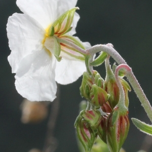Photographie n°232737 du taxon Helianthemum apenninum subsp. apenninum