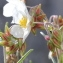 Marie  Portas - Helianthemum apenninum subsp. apenninum