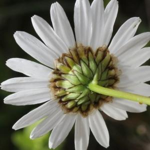 Leucanthemum graminifolium (L.) Lam. [1779] (Marguerite à feuilles de graminée)