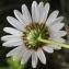 Marie  Portas - Leucanthemum graminifolium (L.) Lam. [1779]