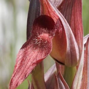 Serapias vomeracea (Burm.f.) Briq. (Sérapias à labelle allongé)