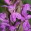 Marie  Portas - Dactylorhiza majalis subsp. majalis
