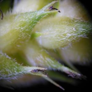 Photographie n°232875 du taxon Carex hirta L. [1753]