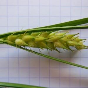 Photographie n°232878 du taxon Carex hirta L. [1753]