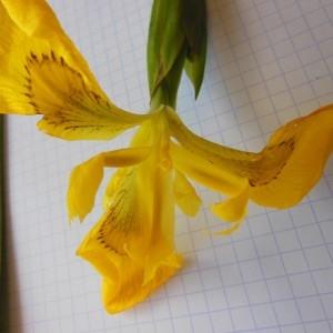 Photographie n°232889 du taxon Iris pseudacorus L. [1753]
