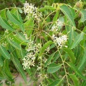 Photographie n°232936 du taxon Azadirachta indica