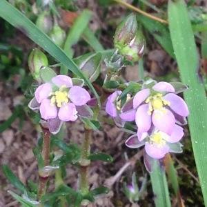 Photographie n°232946 du taxon Spergularia rubra (L.) J.Presl & C.Presl [1819]